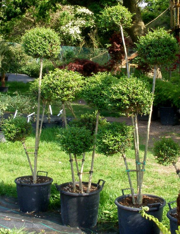 privet topiary pom pom 4 balls new leaf topiary