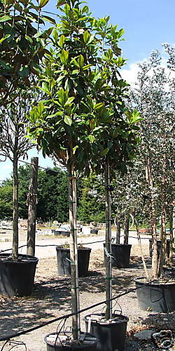 Evergreen Magnolia Full Standard 350cm10 11ft New Leaf Topiary